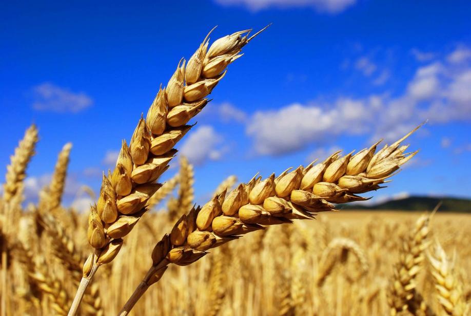 Валовой сбор зерновых превысил отметку в63,3 млн тонн