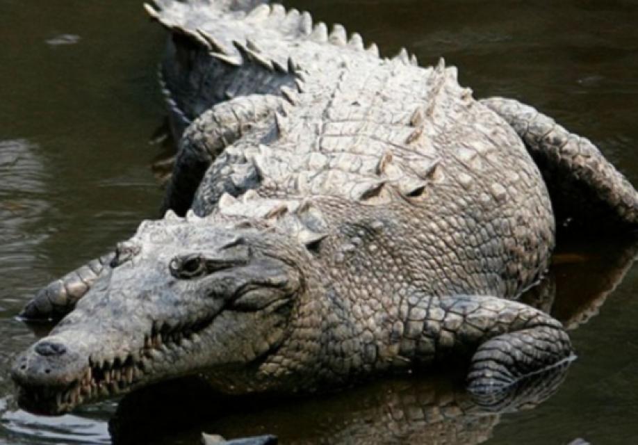 Крокодил напал насемейную пару вбассейне отеля вЗимбабве