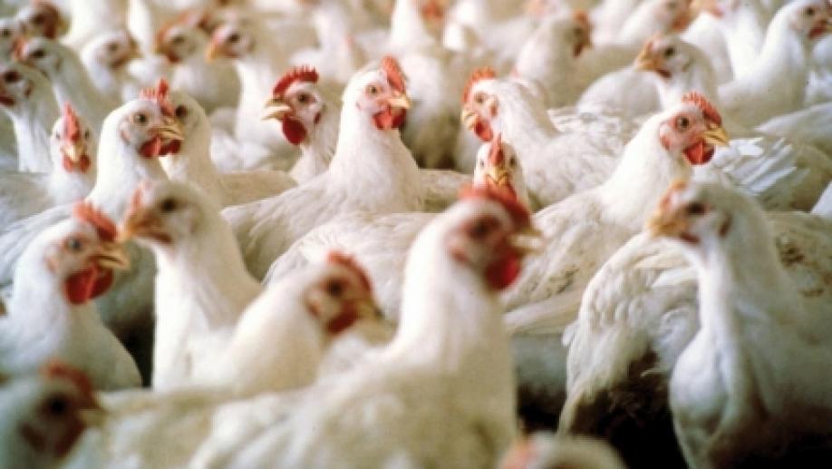 Наптицефермах вЯпонии найден птичий грипп