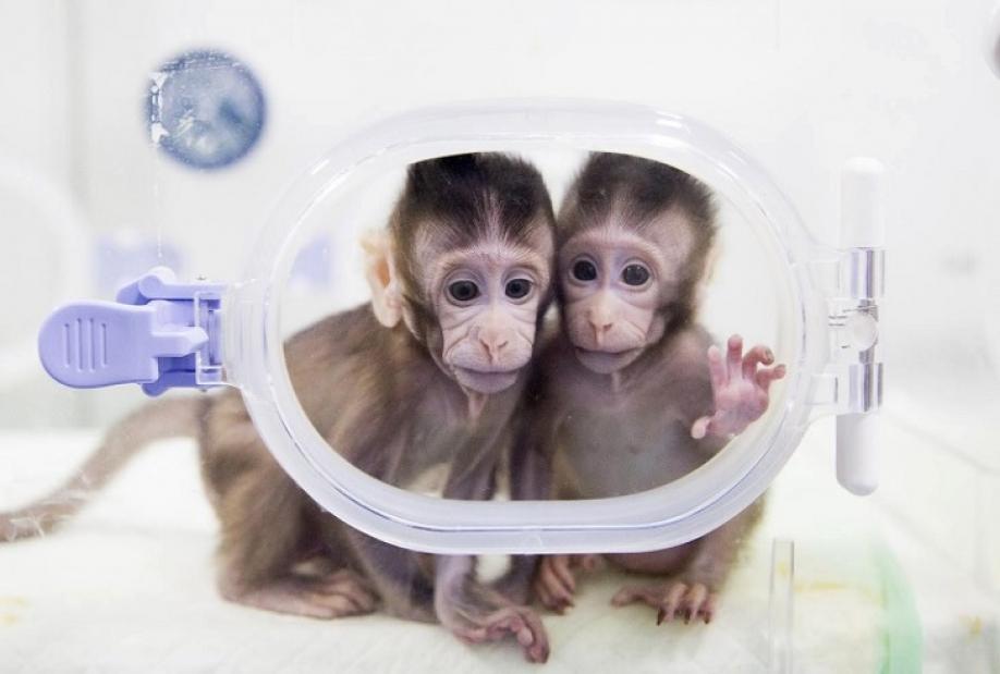 Ученые впервый раз клонировали обезьян пометоду овечки Долли