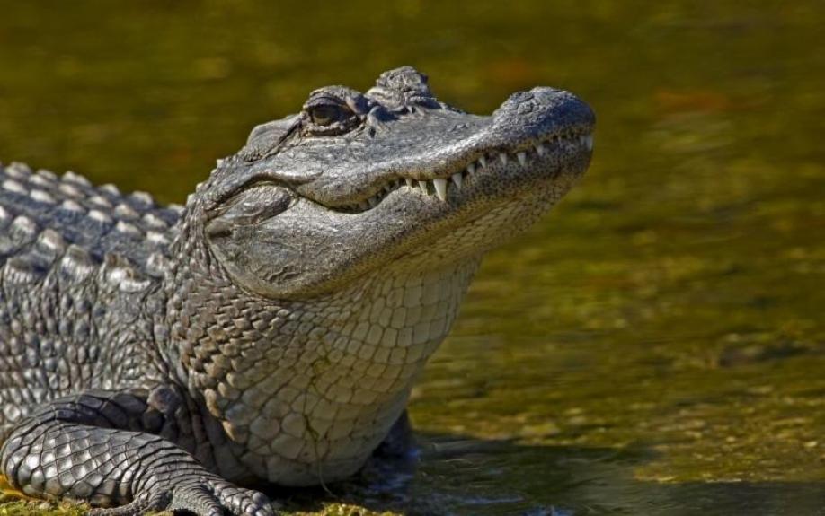ВСША аллигатор напал надесятилетнюю девочку
