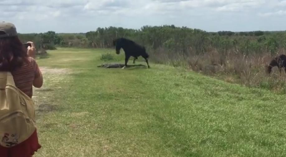 Борьба заместо под солнцем: конь прогнал аллигатора